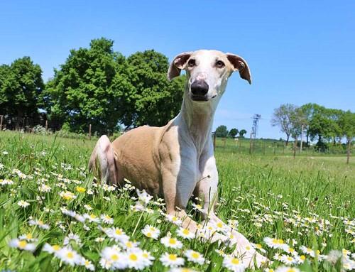 Galgo Espanol – eine Liebeserklärung an diese außergewöhnlichen Hunde